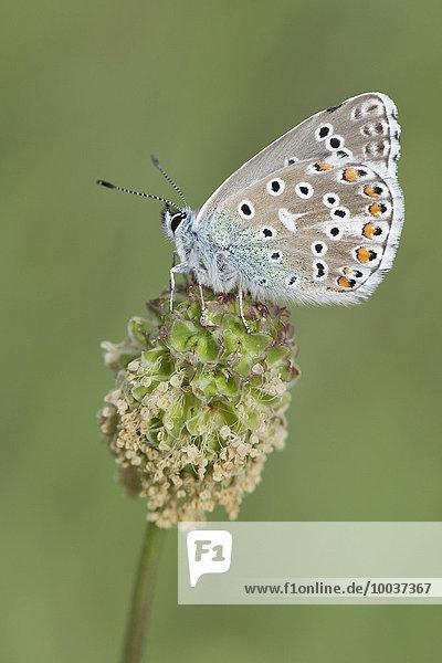 Prächtiger Bläuling (Plebicula amanda)  Männchen  Naturschutzgebiet Rothenstein  Thüringen  Deutschland  Europa