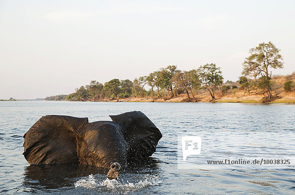 African Elephant (Loxodonta africana)  bull in the Chobe River gets angry at the very near boat with the photographer  in the last light of the evening  Chobe National Park  Botswana  Africa