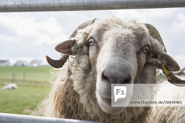 Sheep looking out from railings of a barn  Bavaria  Germany Sheep looking out from railings of a barn, Bavaria, Germany