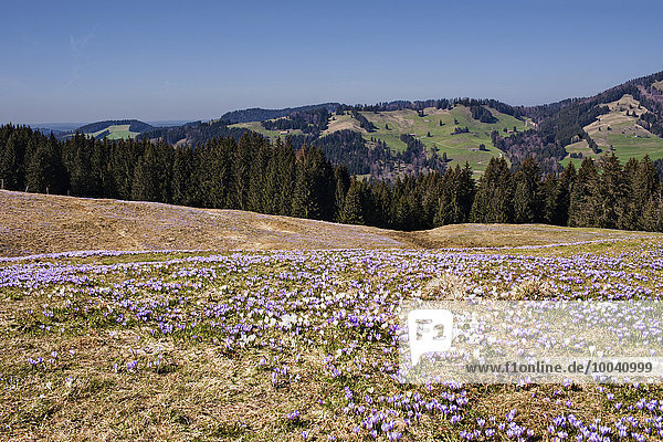 High angle view of purple crocus flowers with mountain ranges in the background  Hochsiedelalpe  Bavaria  Germany