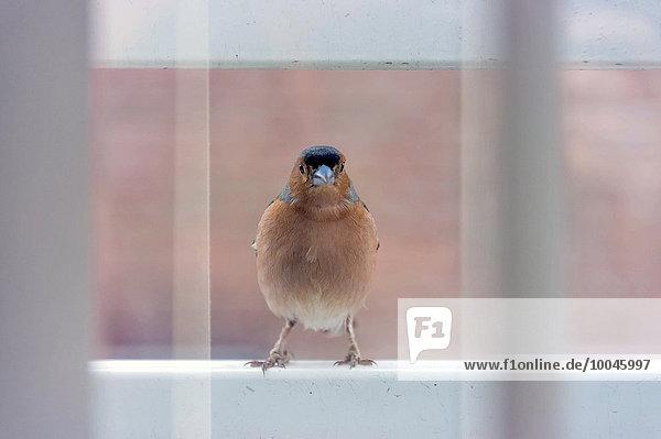 Chaffinch auf einer Fensterbank