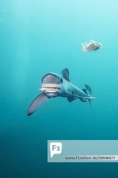 Südafrika  Blauhai  Prionace glauca