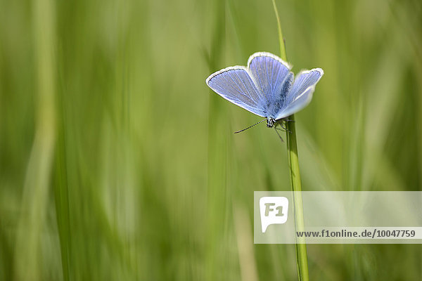 Common Blue  Polyommatus icarus