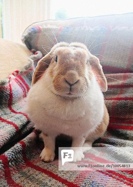 Porträt eines Kaninchens auf einem Sofateppich sitzend Porträt eines Kaninchens auf einem Sofateppich sitzend