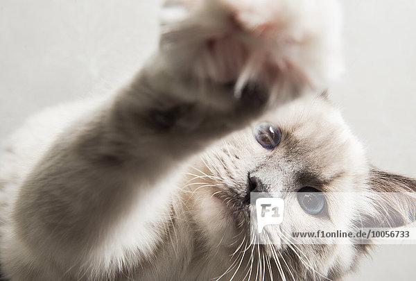 Ragdoll-Katze  Pfote zur Kamera greifend  Nahaufnahme Ragdoll-Katze, Pfote zur Kamera greifend, Nahaufnahme