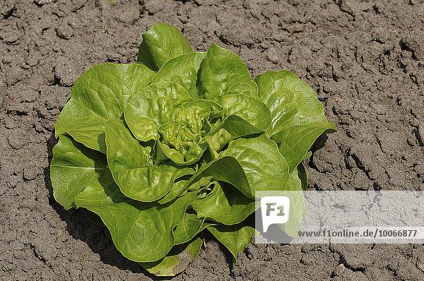 Grüner Salatkopf im Gemüsebeet