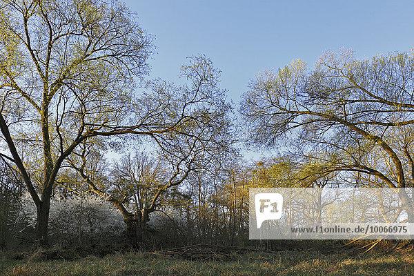 Floodplain forest in spring  Middle Elbe Biosphere Reserve  Dessau  Saxony-Anhalt  Germany  Europe
