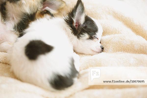 Chihuahua Chihuahuas