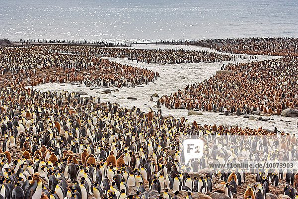 König - Monarchie Südgeorgien Antarktis Bucht Pinguin