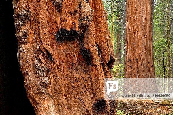 Landschaftlich schön landschaftlich reizvoll Baum groß großes großer große großen Nebenstraße Sequoia Kalifornien