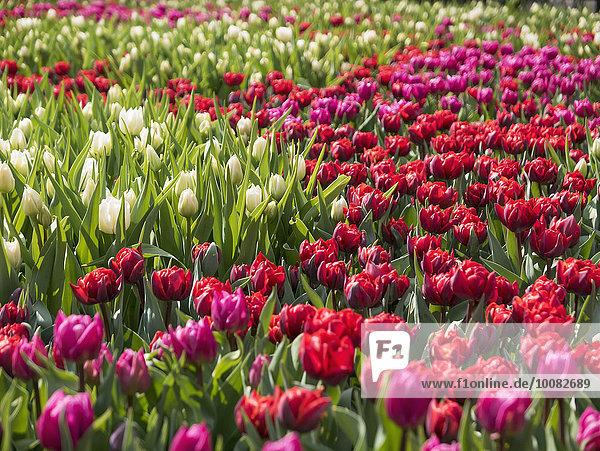Nutzpflanze Wachstum Feld Tulpe