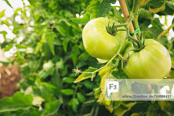 grün Wachstum Close-up Tomate Pflanzenblatt Pflanzenblätter Blatt Reben