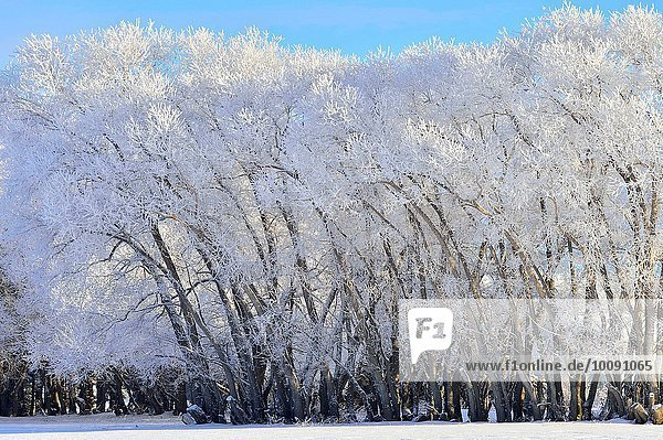 A line of trees covered with white hoar frost on a cold winter day in rural Alberta. Canada.