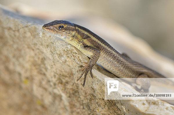 Adultes Europäisches Schlangenauge (Ophisops elegans macrodactylus) sonnt sich auf Fels  Lykien  Südwest-Türkei