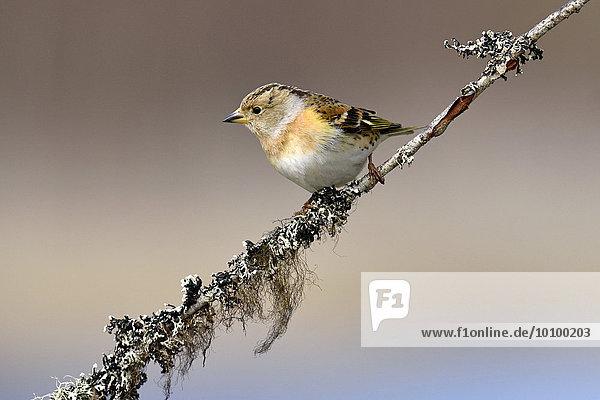 Bergfink oder Nordfink (Fringilla montifringilla)  Weibchen auf Ast sitzend  Provinz Hedmark  Norwegen  Europa
