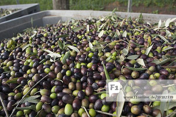 In der Toskana frisch geerntete Oliven  die für die Presse vorbereitet werden.