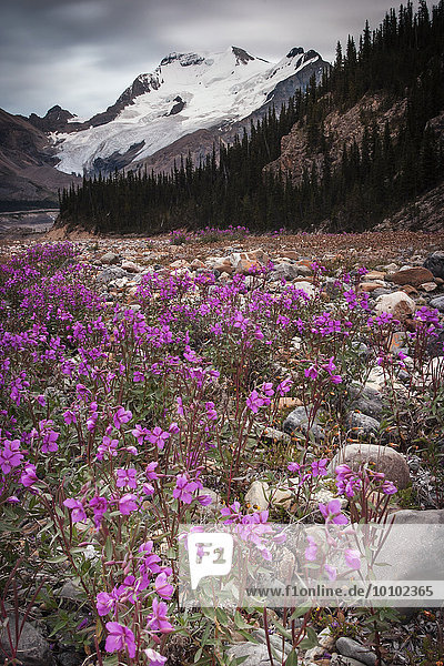 Der Athabasca-Gletscher und rosa Wildblumen in einem Tal in den kanadischen Rocky Mountains.
