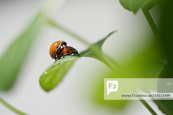 Ladybugs mating Ladybugs mating