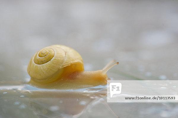 Snail  close-up
