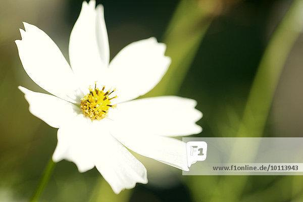 Blume weiß