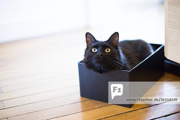 Katze im Karton liegend