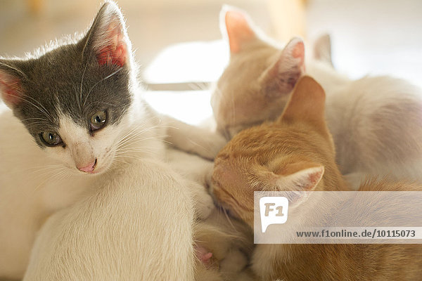 Kittens cuddling with mother cat