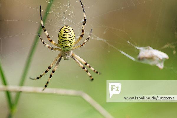 Spinne Spinne