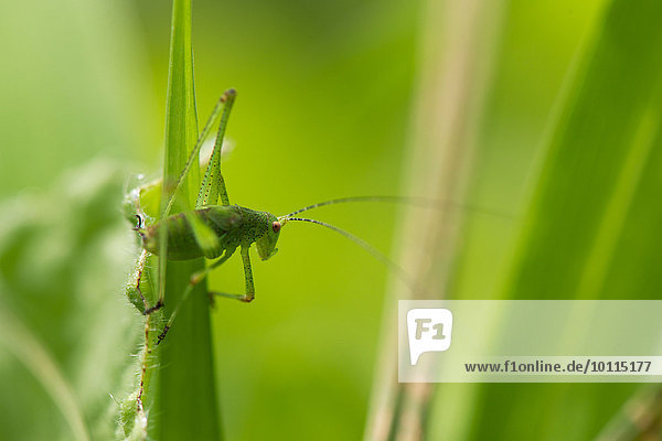 Green grasshopper on blade of grass