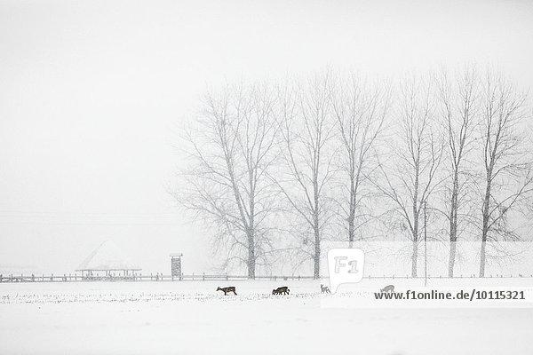 Herde Herdentier Hirsch Schnee