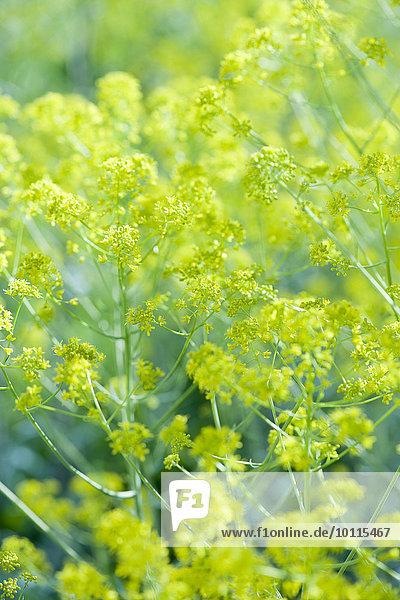 Fennel flowers Fennel flowers