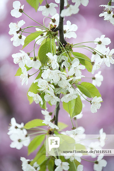 Kirschblüte Kirschblüte
