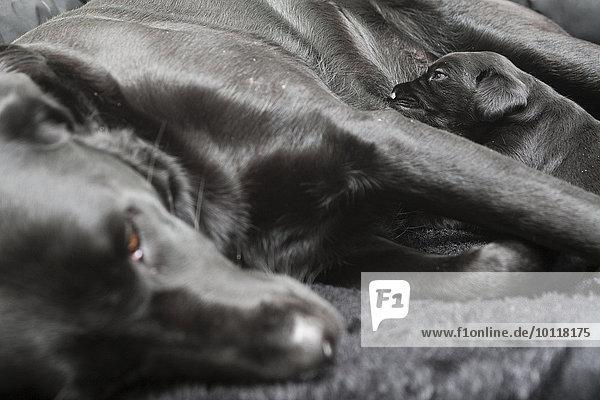 Schwarzer Labrador  Hündin beim Säugen eines einzelnen Welpens