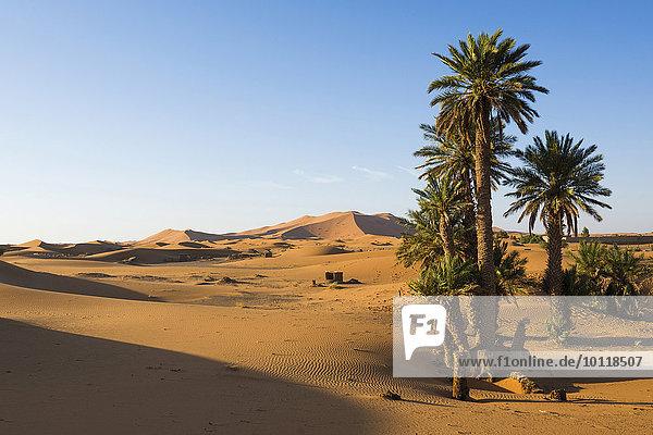 Dünen und Palmen im Morgenlicht  bei Merzouga  Region Meknès-Tafilalet  Marokko  Afrika