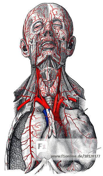 Arteries in head  by Toldt  Anatomical Atlas  1906  illustration