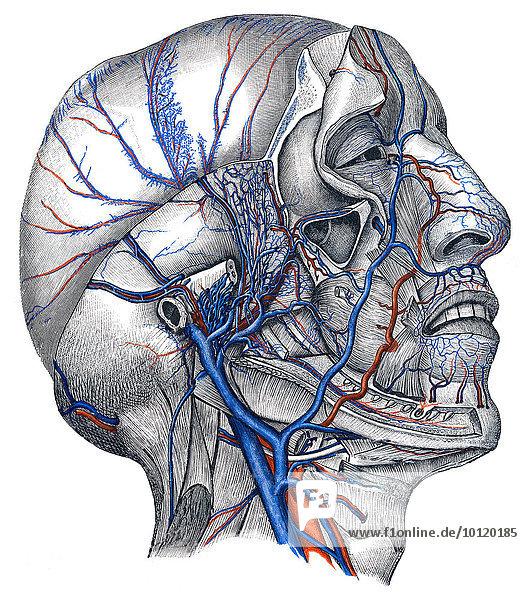 Veins in head  by Toldt  Anatomical Atlas  1906  illustration