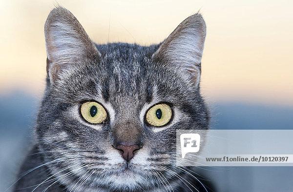 Katze mit großen  gelben Augen  Griechenland  Europa