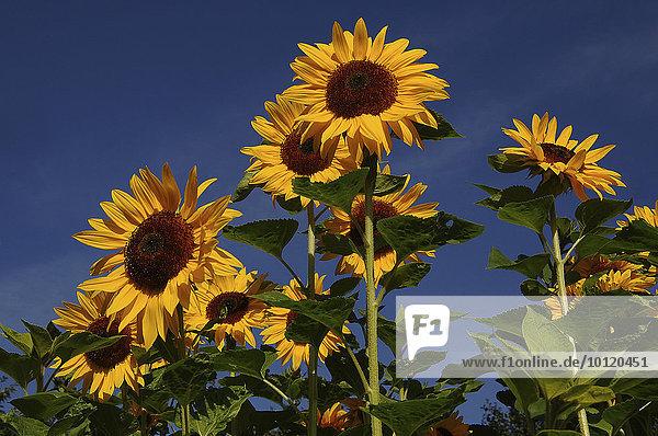 Sonnenblumen (Helianthus annuus)  Sonnenblumenfeld  Schleswig-Holstein  Deutschland  Europa