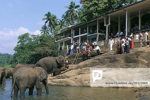 Elefanten (Elephantidae)  Elefantenwaisenhaus  Maha Oya River  Pinnawela  Sri Lanka  Asien