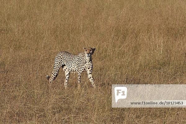 Weiblicher Gepard (Acinonyx jubatus) durchstreift das Gras  Masai Mara  Narok County  Kenia  Afrika