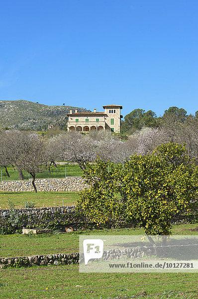 Blühende Mandelbaumplantage bei Andratx auf Mallorca  Balearen  Spanien  Europa