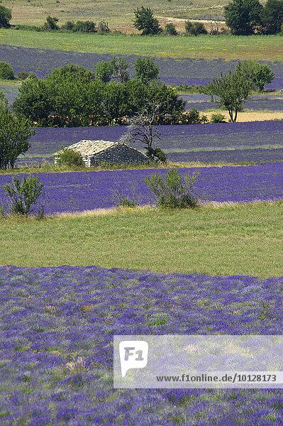 Borie oder Steinhütte  im Lavendelfeld  Sault  Provence  Region Provence-Alpes-Côte d?Azur  Frankreich  Europa