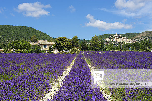 Lavendelfeld und Ortsansicht  Banon  Provence  Region Provence-Alpes-Côte d?Azur  Frankreich  Europa