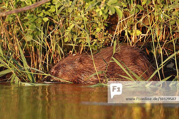Beaver (Castor fiber)  eating  evening light  river Peene  Mecklenburg-Western Pomerania  Germany  Europe