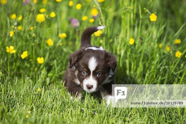 Miniature American Shepherd or Miniature Australian Shepherd or Mini Aussie puppy  Red Tri  in flower meadow