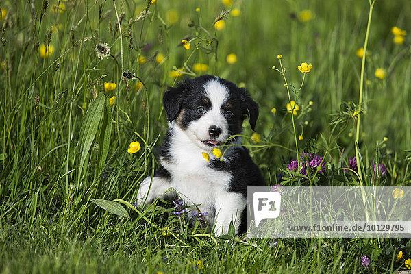 Miniature American Shepherd oder Miniature Australian Shepherd oder Mini Aussie  Welpe  Black Tri  sitzt in Blumenwiese