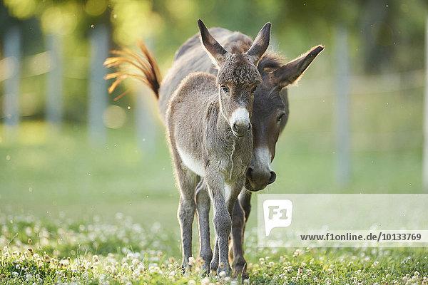 Donkeys on a meadow  Upper Palatinate  Bavaria  Germany  Europe