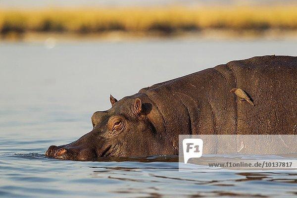 Bulle Stier Stiere Bullen Madenhacker Buphagus Flusspferd Hippopotamus amphibius Säugetier Boot Fluss fotografieren rot groß großes großer große großen Rechnung Parasit Tier Botswana Chobe Nationalpark