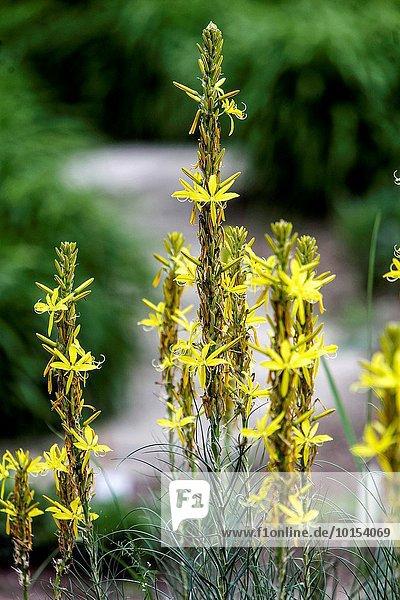 Yellow Asphodel  Asphodeline lutea.