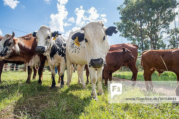 Südliches Afrika Südafrika Hausrind Hausrinder Kuh Bauernhof Hof Höfe