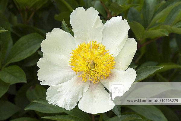 Blüte  Pfingstrose  (Paeonia)  Nordrhein-Westfalen  Deutschland  Europa